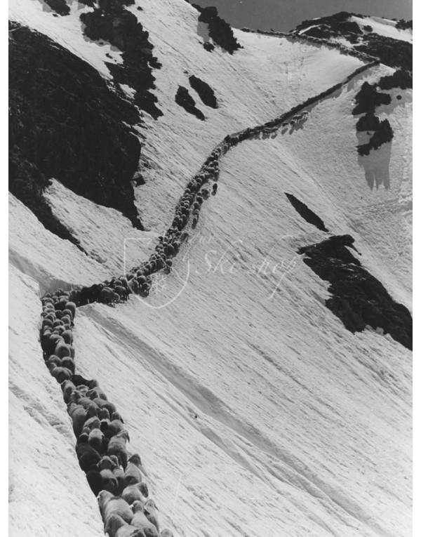 Vintage Mountain Photo - 2000 Sheep